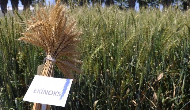 Yeni Buğday Çeşidi Geliştirildi, Proje Kahramanmaraş'ı da Kapsıyor