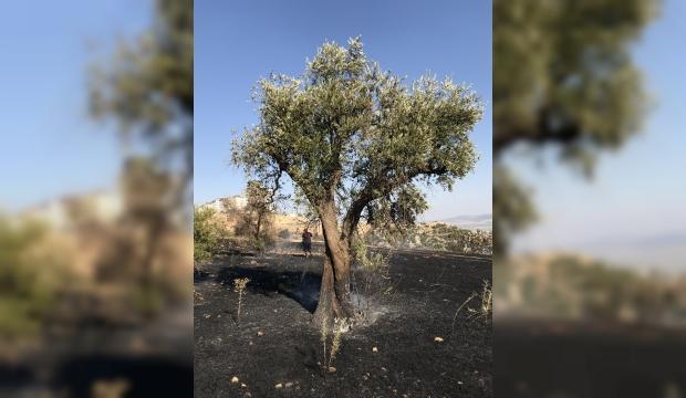 Kahramanmaraş'ta Zeytinlik Yandı:2 Hektar Kül Oldu