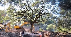 Tarihi Meşe Ağacını Söken Çifte 586 Bin Dolar Ceza!